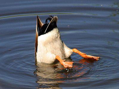 Diving_Duck